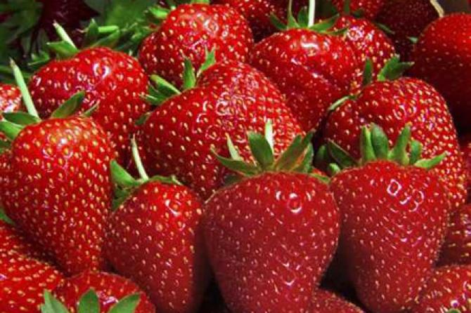 Proizvodnja jagoda u plastenicima