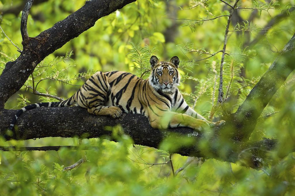 Bandhavgarh nacionalni park indija